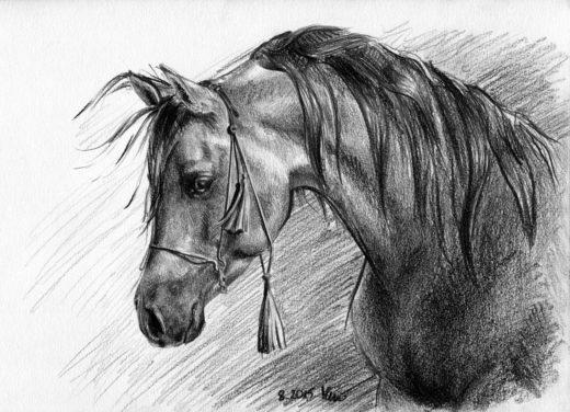 Koń Arabski - rysunek ołówek