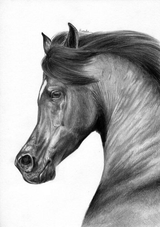 Rysunek ołówkiem, koń arabski z rozdętymi chrapami.