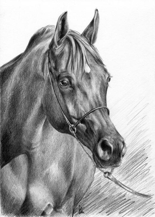 Rysunek konia, wykonany ołówkiem, arab w lekkim kantarze