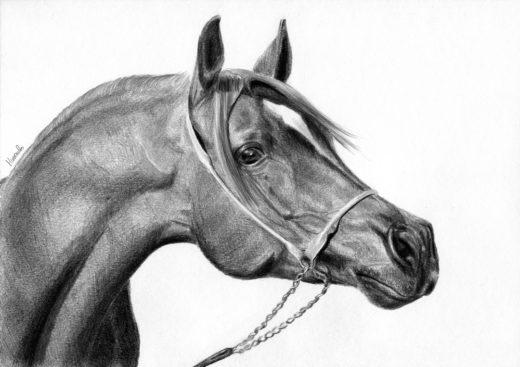 Rysunek profilu konia arabskiego