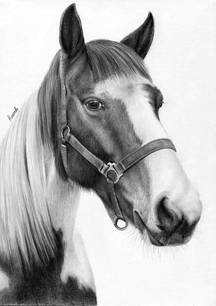 Rysunek srokatego konia, portret.