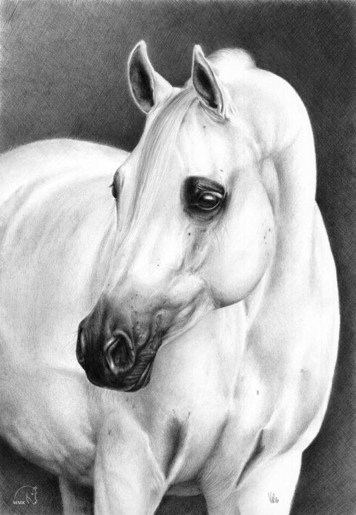 Portret Psyche Kreuzy - siwej klaczy arabskiej.