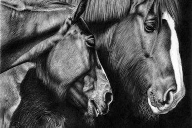 Rysunek zimnokrwistych koni z zimową sierścią.