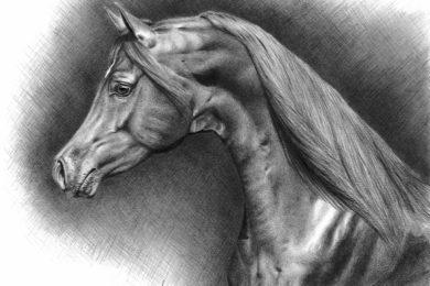 Rysunek arabskiego ogiera Cefira.